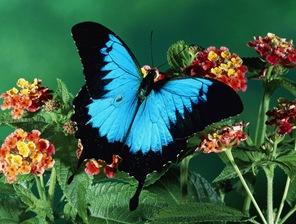 blue_butterfly-4650