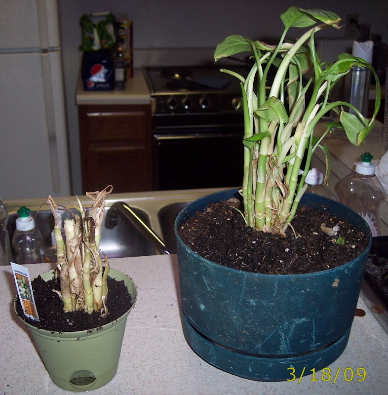 how to cut a dumb cane plant