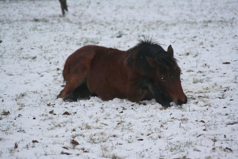 Le  calvados sous la neige... les chevaux s'éclatent! IMG_4933