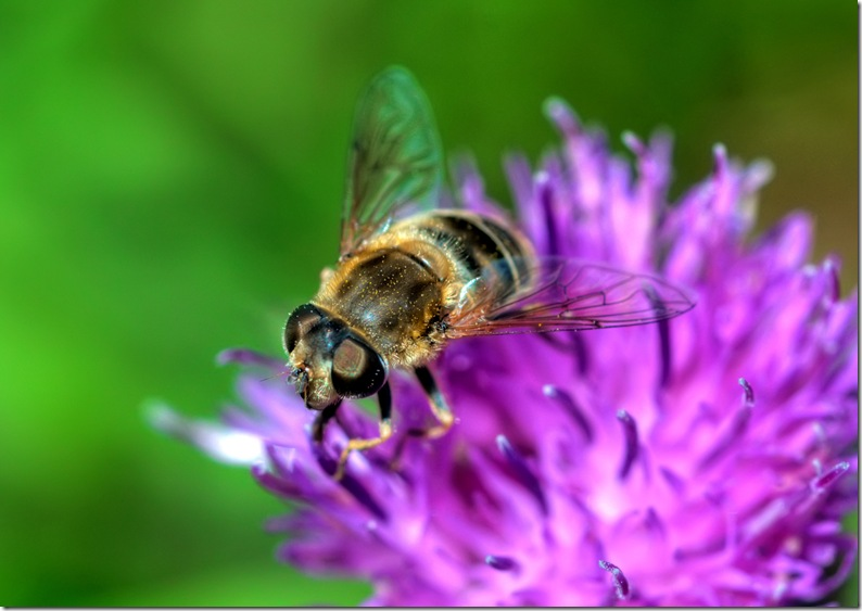 close up of hoverfly feeding