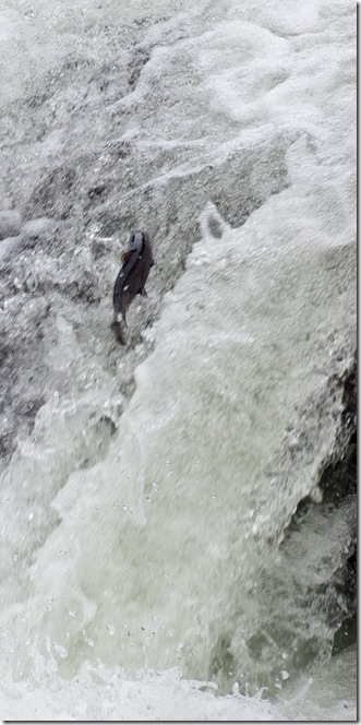 salmon leaping up the froth pot - river duddon