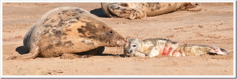 mother and newborn seal pup at donna nook