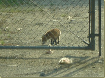 baby fox on Mayall road2