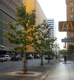 Trees added in parking lane on Dallas St. in downtown Houston TX.