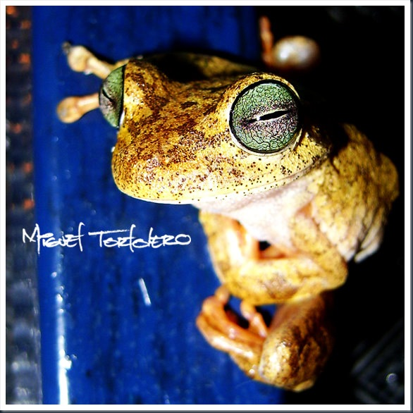 normal frog-1