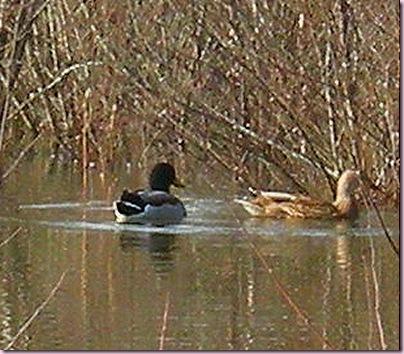 DuckCrop2622