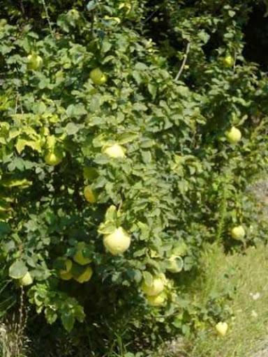 اسماء صور اشجار الفاكهة