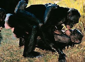 sexo entre bonobos