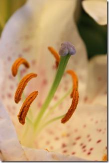 hvit og rosa lilje