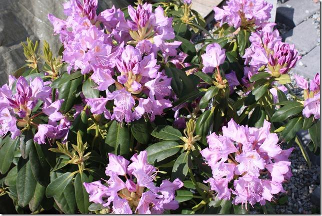 vakker rhododendron