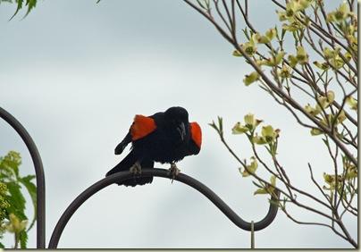 Blackbird is singing2