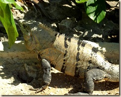 iguana1