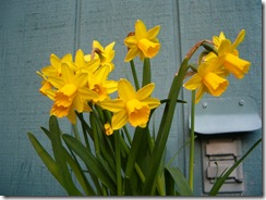 daffodila