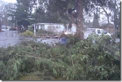 trimmed cedar tree4