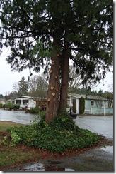 trimmed cedar tree2