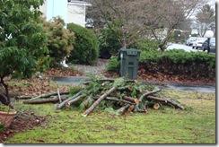 trimmed cedar tree3