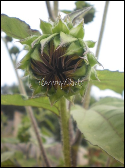 Baby Sunflower