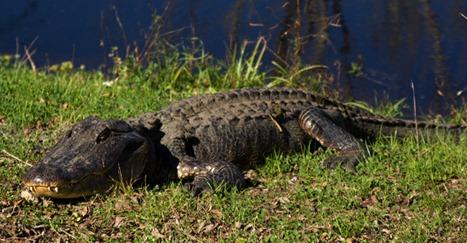 gator7