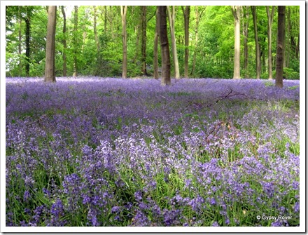 A sea of blue in the Forestry Commission, Westwood Forest, Marlborough.