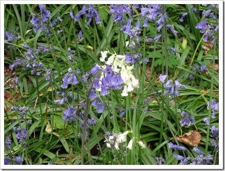 This one had to be different! Blue and white Bluebell's.
