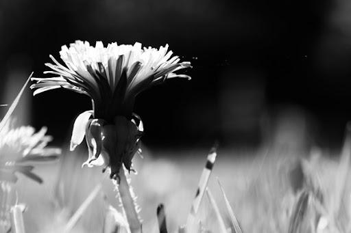 Maskros i svartvitt
