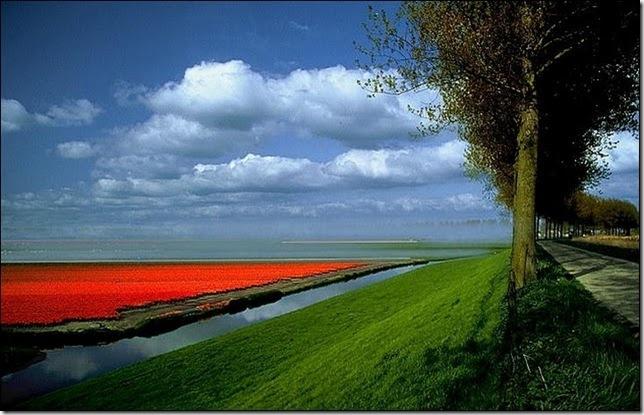 tulip-fields14