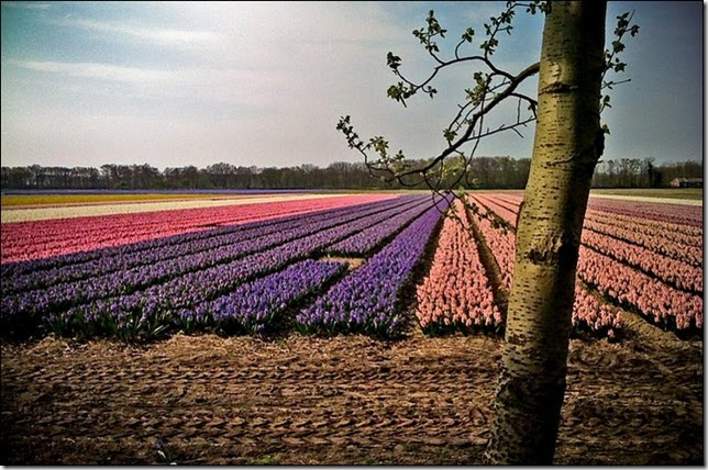 tulip-fields21