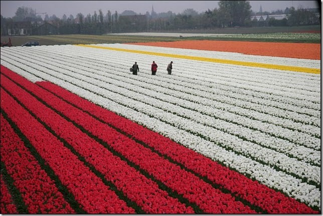 tulip-fields27