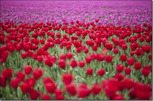 tulip-fields28
