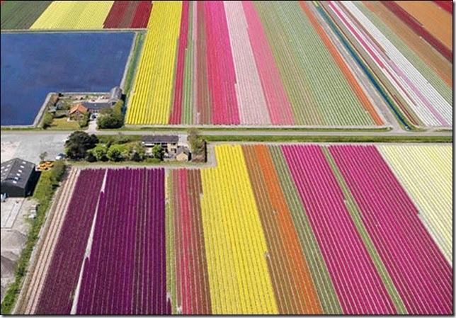 tulip-fields29