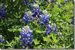 Perfect pic of bluebonnets