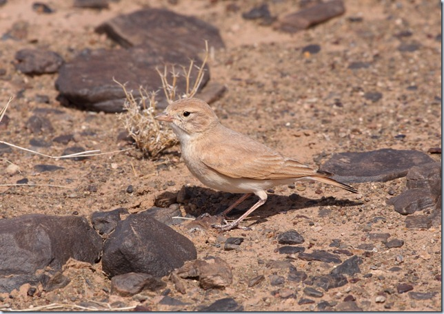 bar-tailed_lark