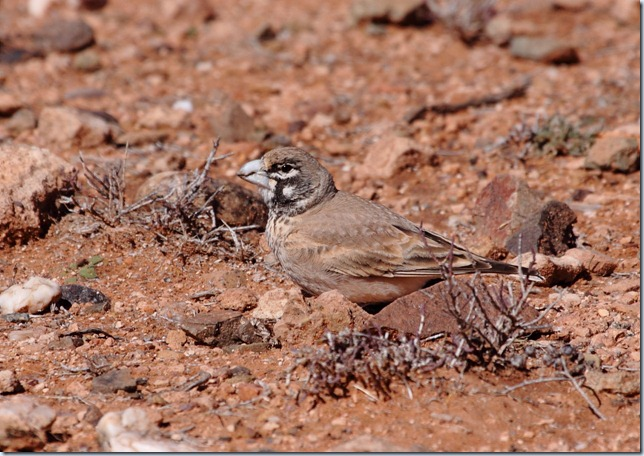 thick-billed_lark