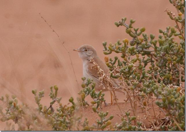 desert_warbler2