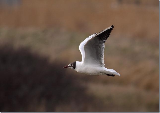 bl-h gull