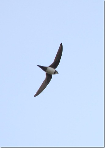 alpine_swift3