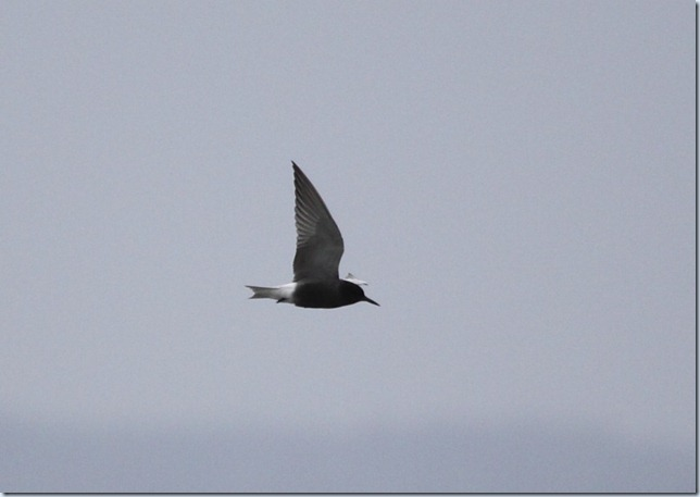 blacktern1