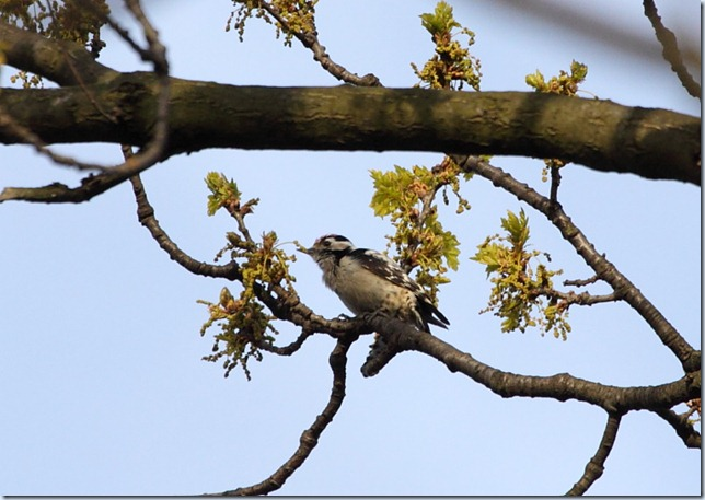lswoodpecker