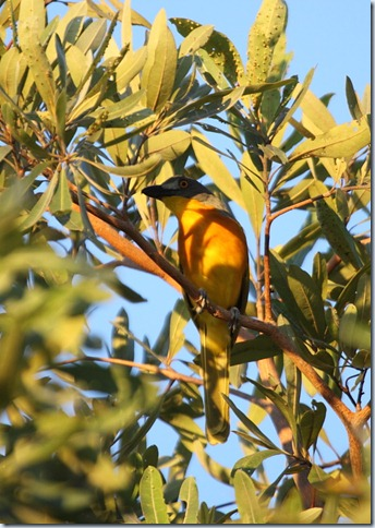 g-h bush shrike