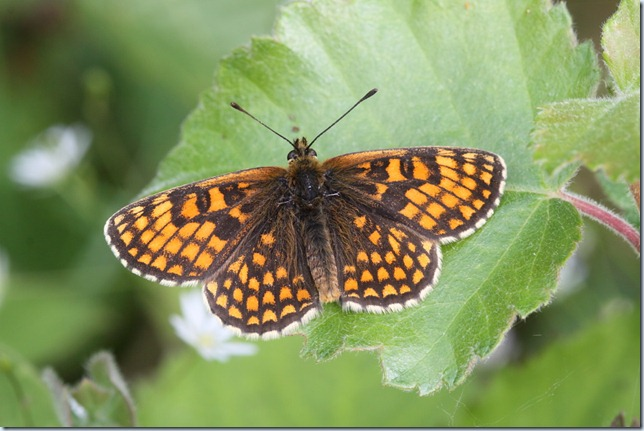 heath_fritillary