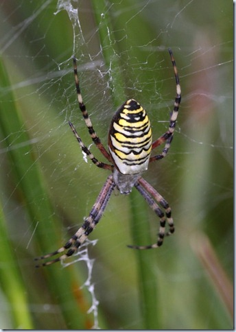 wasp_spider