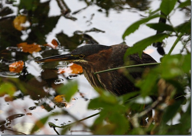 green_heron1