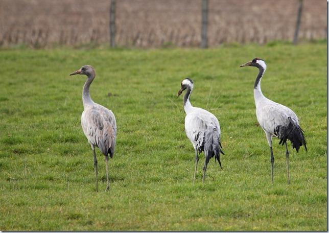 crane_family