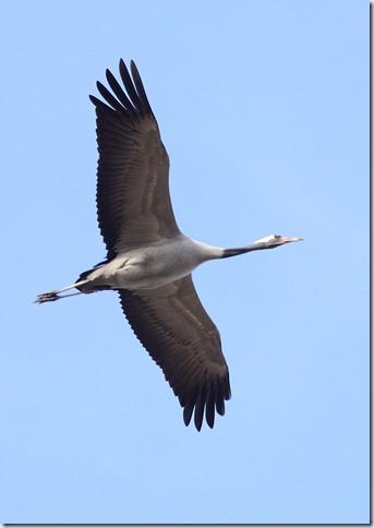 crane_in_flight