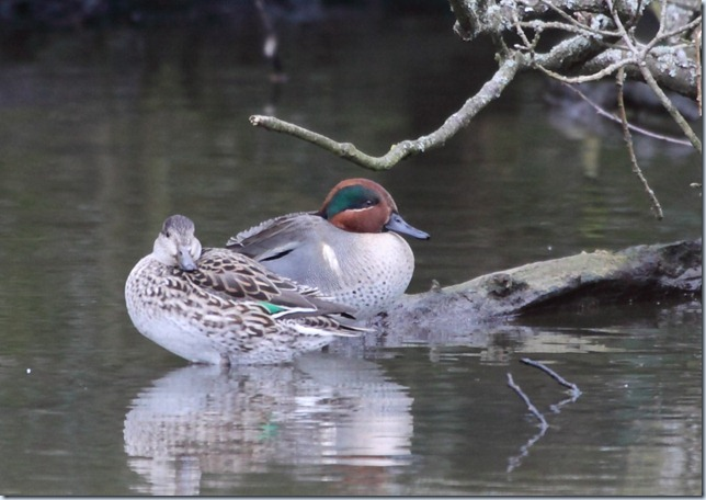 green-winged_teal2