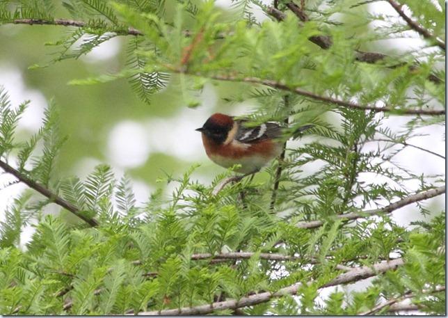 bay-breasted_warbler