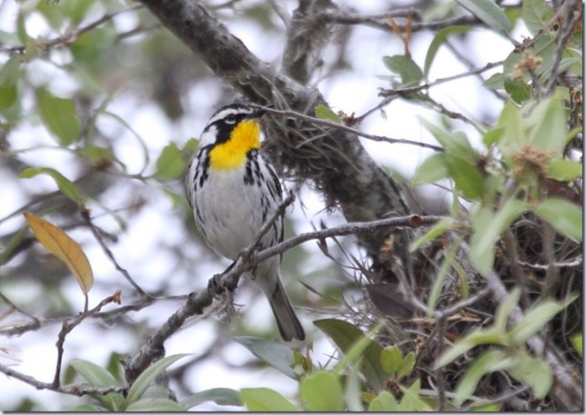 yellow-throated_warbler