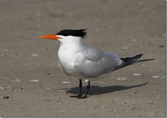 royal_tern3