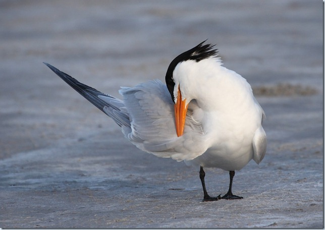royal_tern2