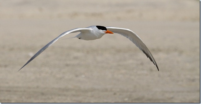 royal_tern4